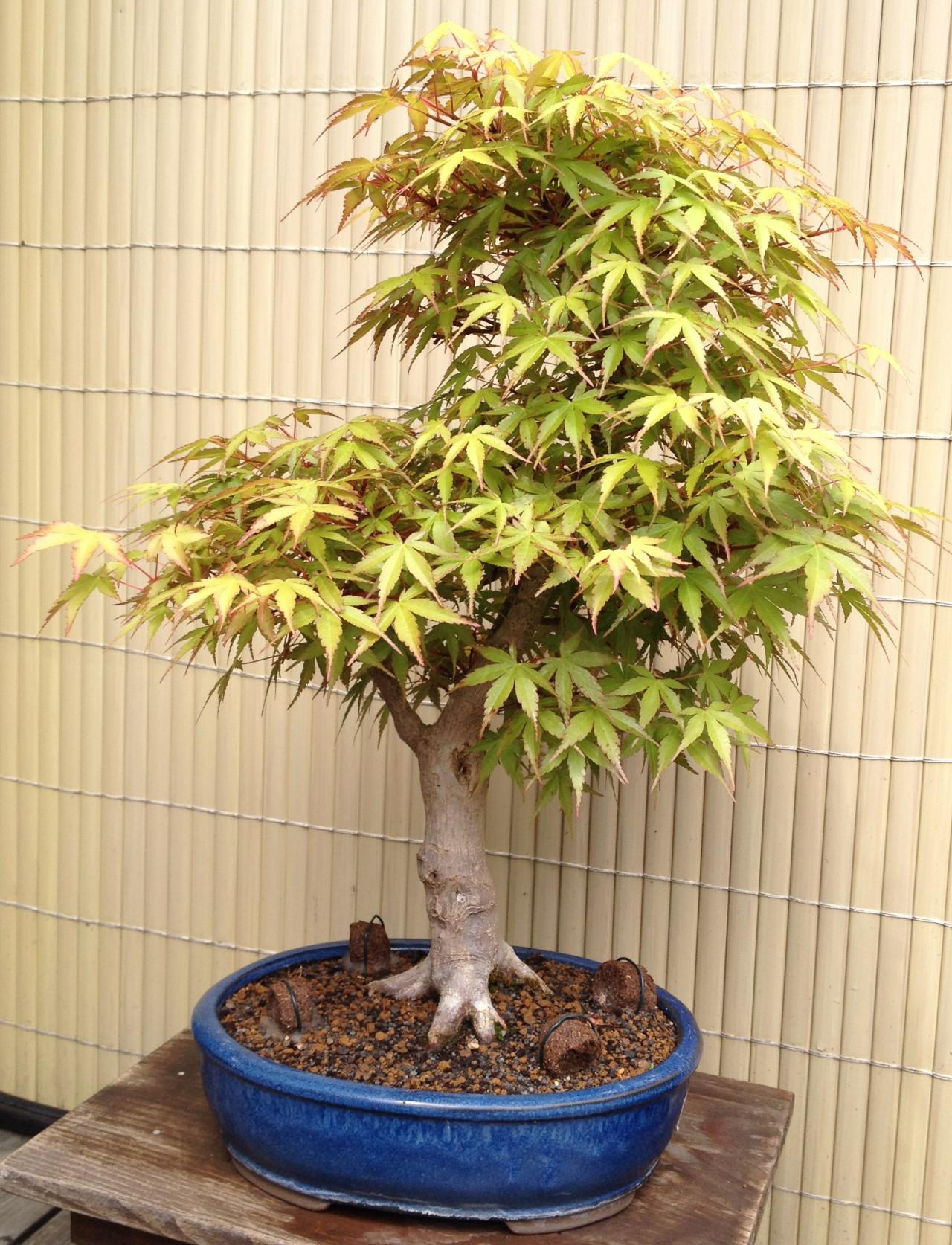 Pflanzen bonsai spezielle pflanzen jungpflanzen for Pflanzen liefern